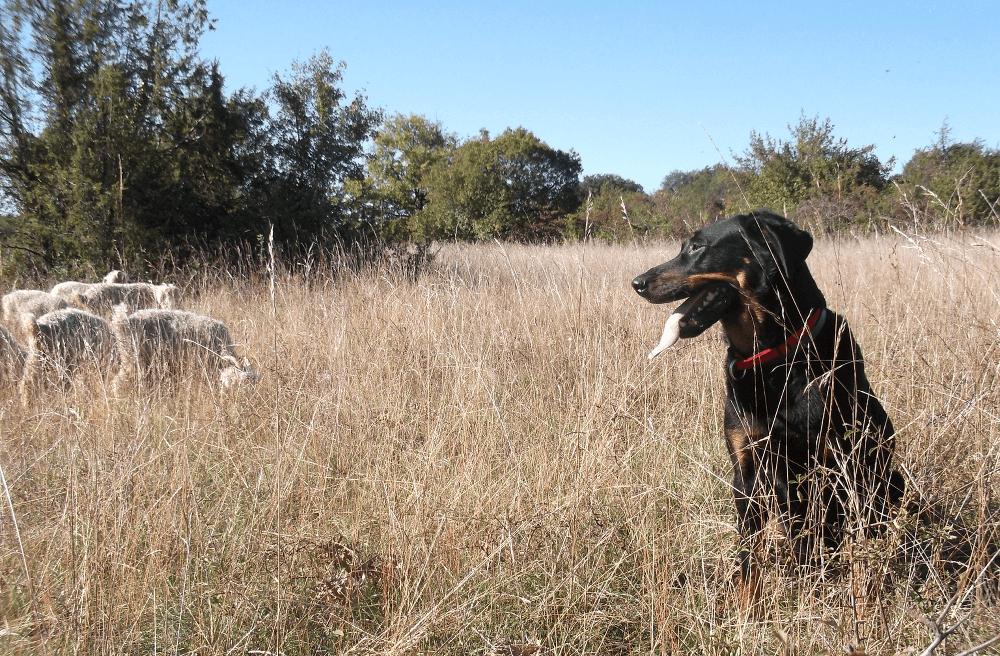 Berger de Beauce au travail avec le troupeau - La ferme de Siran