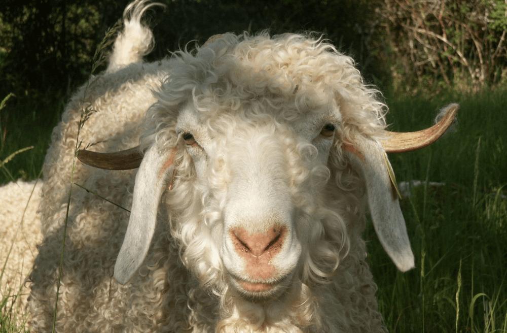 e1e19043174f La chèvre angora en Occitanie à la Ferme de Siran