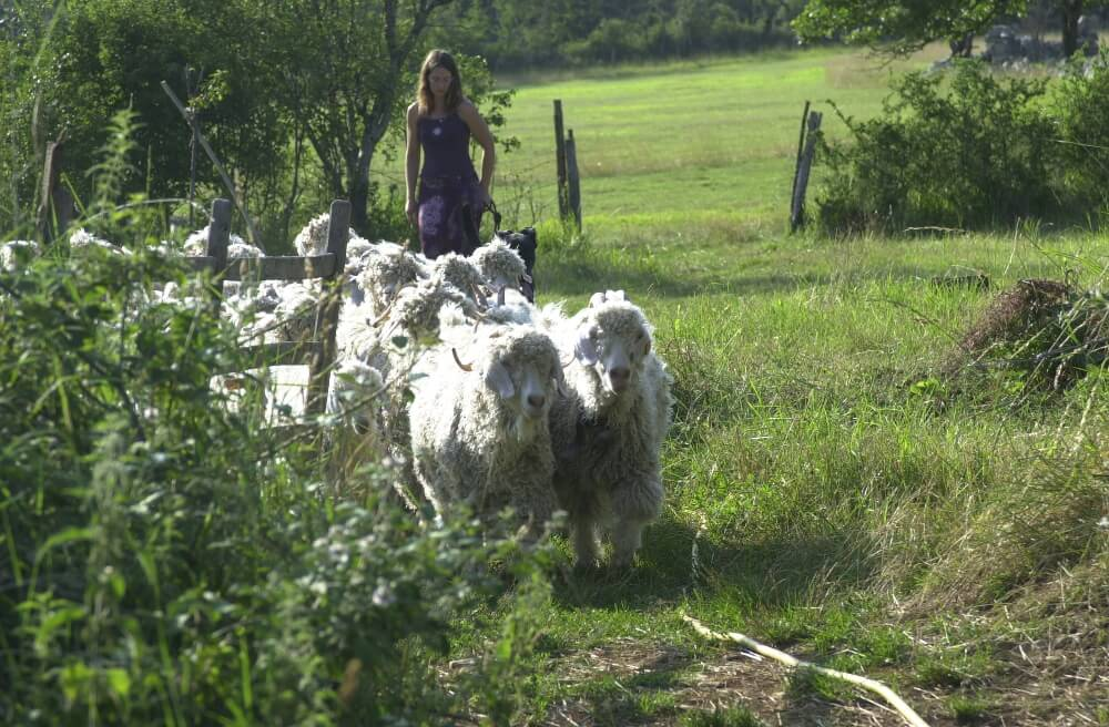 Troupeau chèvre angora en Occitanie - la Ferme de Siran (46)