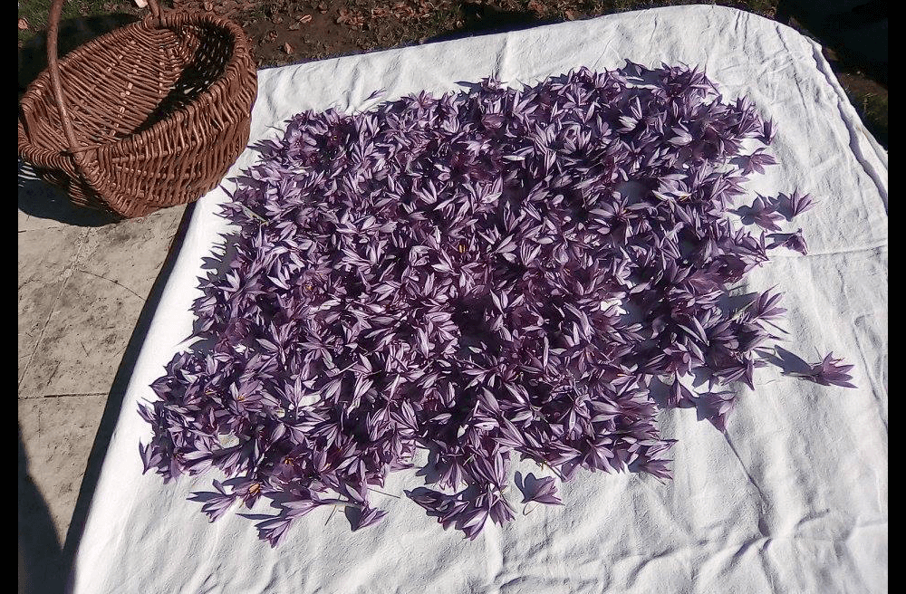 recolte-safran-loubressac-lot