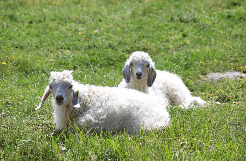 Élevage et reproduction de chèvre angora proche de Padirac (46)