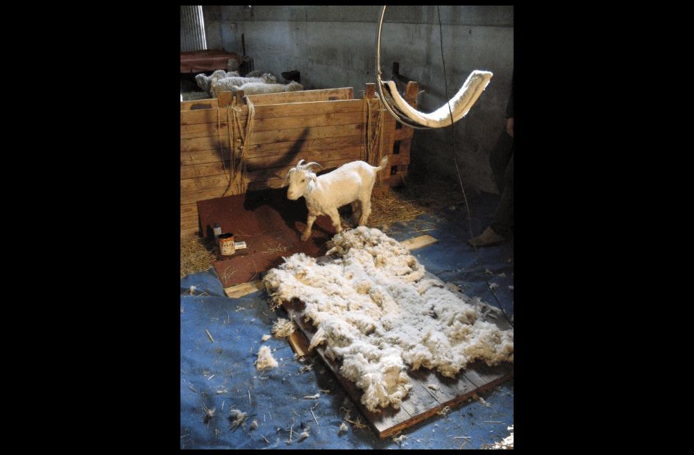 Production de mohair proche de St Céré - La Ferme de Siran (46)