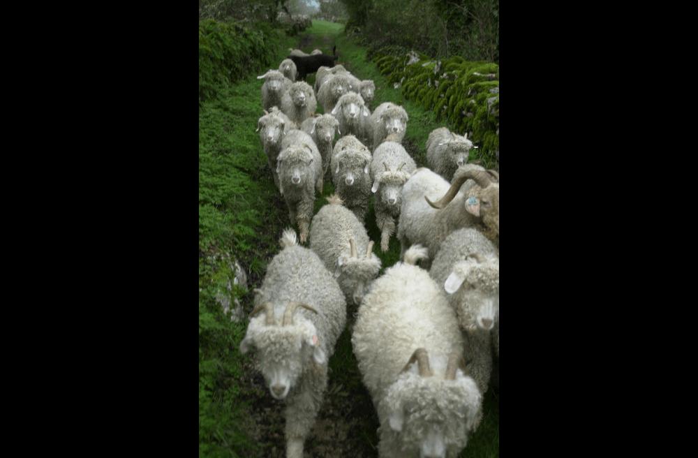 troupeau-chevre-angora-visite-ferme-46-lot